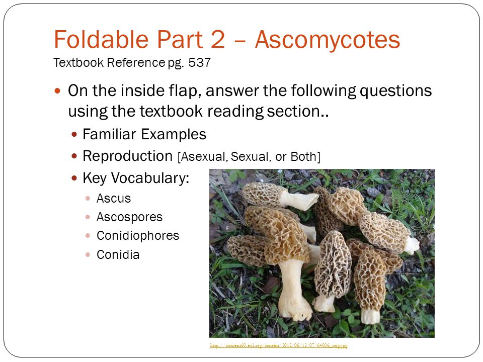 Foldable Part 2 – Ascomycotes Textbook Reference pg. 537