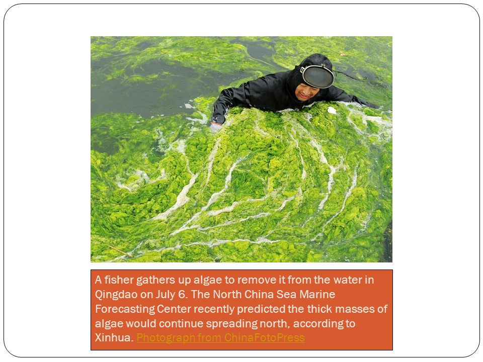 A fisher gathers up algae to remove it from the water in Qingdao on July 6.