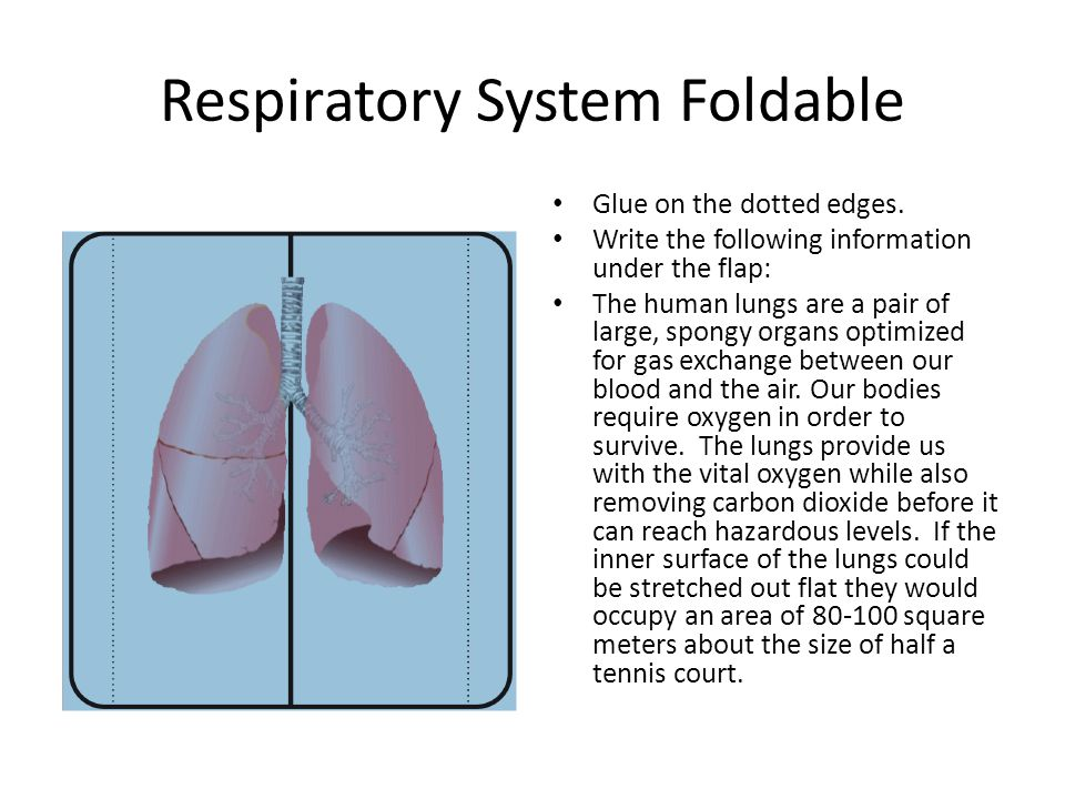 Respiratory System Foldable
