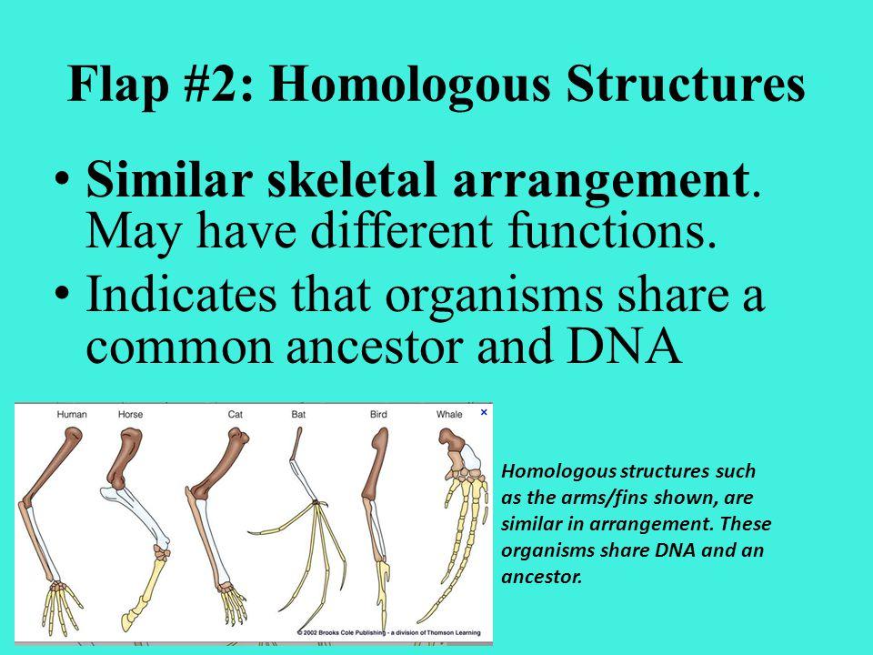 Flap #2: Homologous Structures
