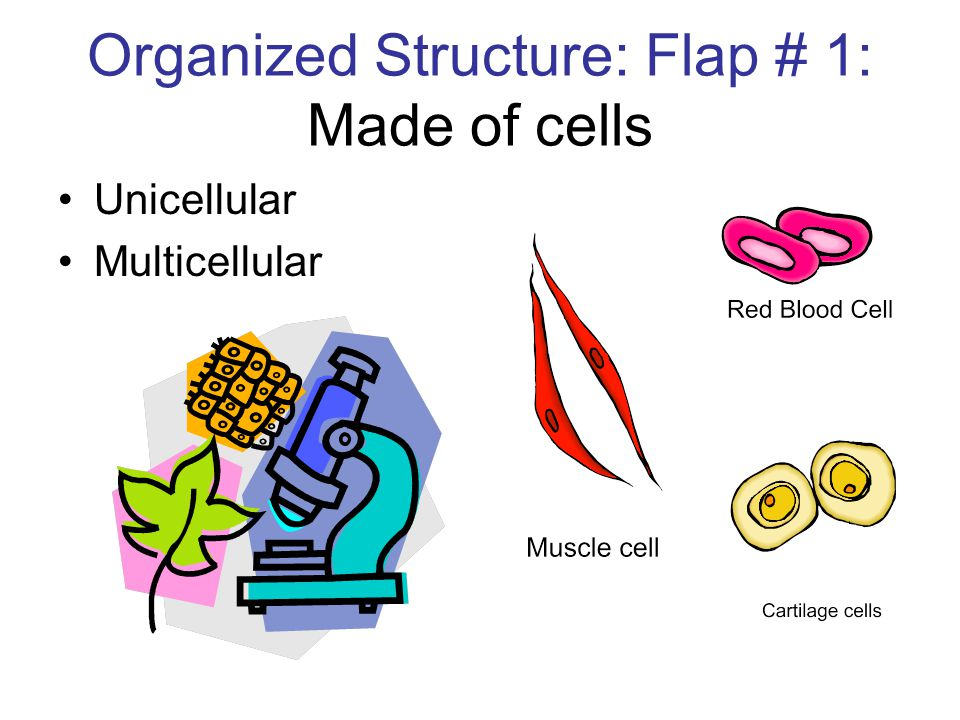 Organized Structure: Flap # 1: Made of cells