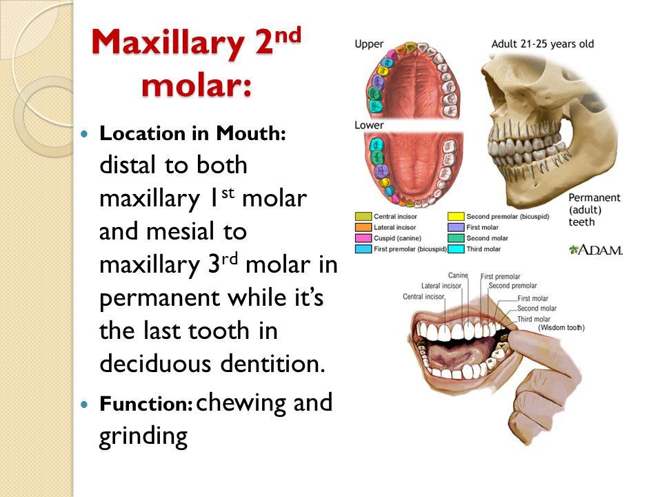 Maxillary 2nd molar: