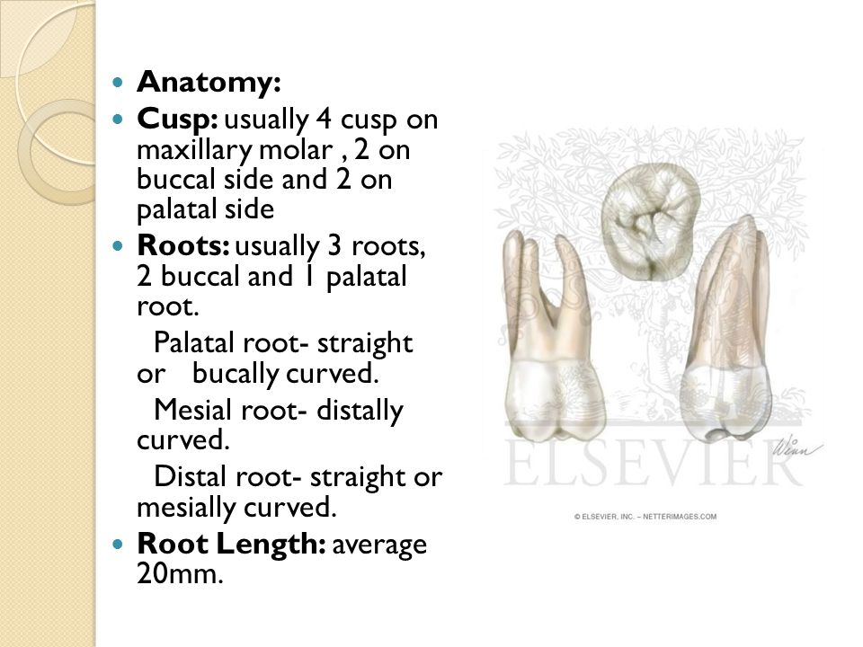 Anatomy: Cusp: usually 4 cusp on maxillary molar , 2 on buccal side and 2 on palatal side. Roots: usually 3 roots, 2 buccal and 1 palatal root.