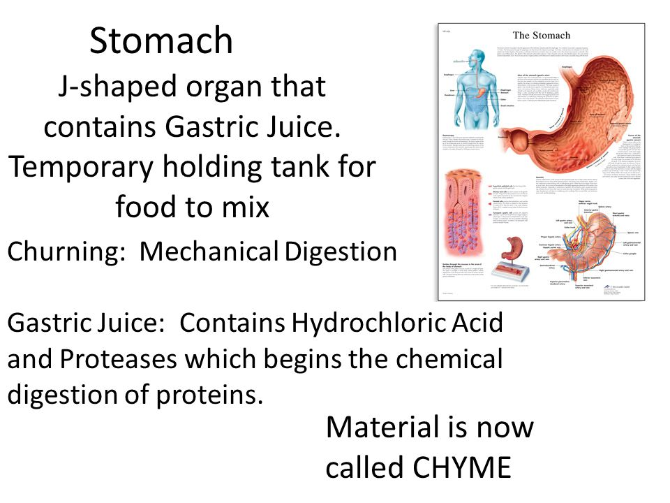 Stomach J-shaped organ that contains Gastric Juice. Temporary holding tank for food to mix. Churning: Mechanical Digestion.