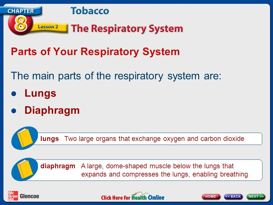 Parts of Your Respiratory System
