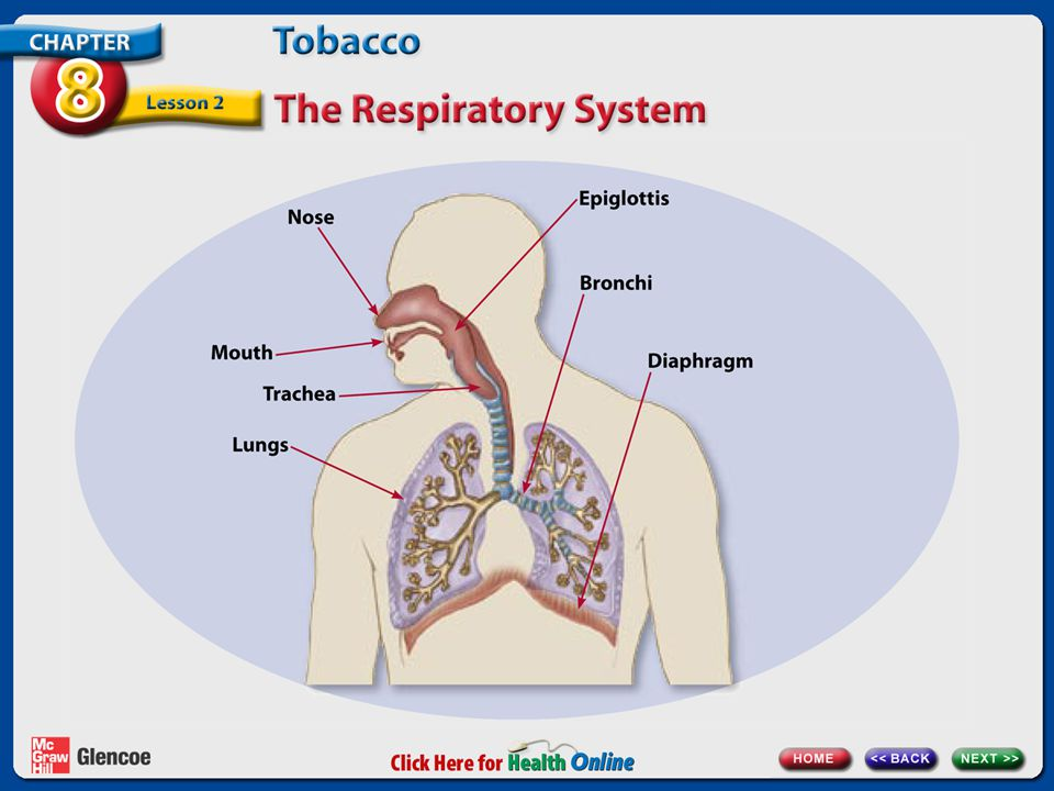 These are the parts of the respiratory system.