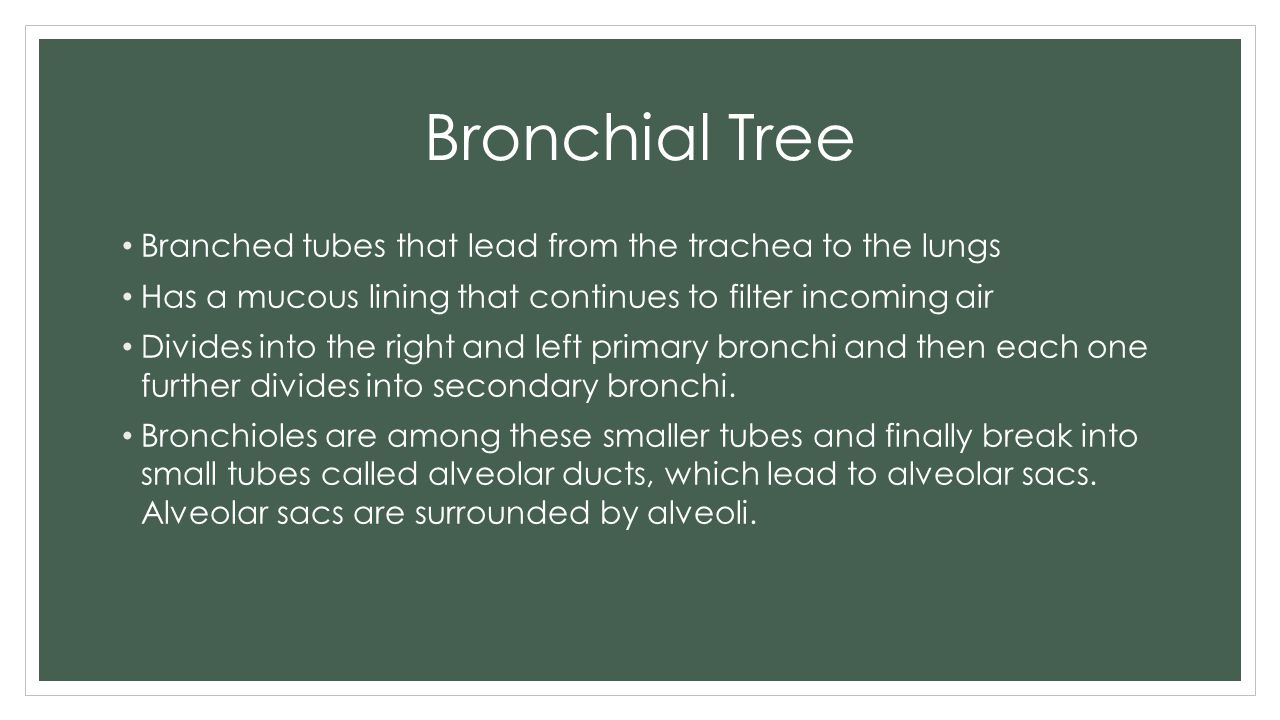 Bronchial Tree Branched tubes that lead from the trachea to the lungs