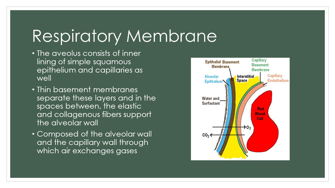 Respiratory Membrane The aveolus consists of inner lining of simple squamous epithelium and capillaries as well.