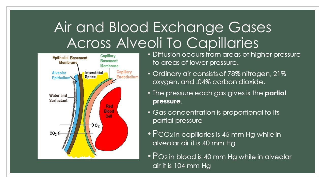 Air and Blood Exchange Gases Across Alveoli To Capillaries
