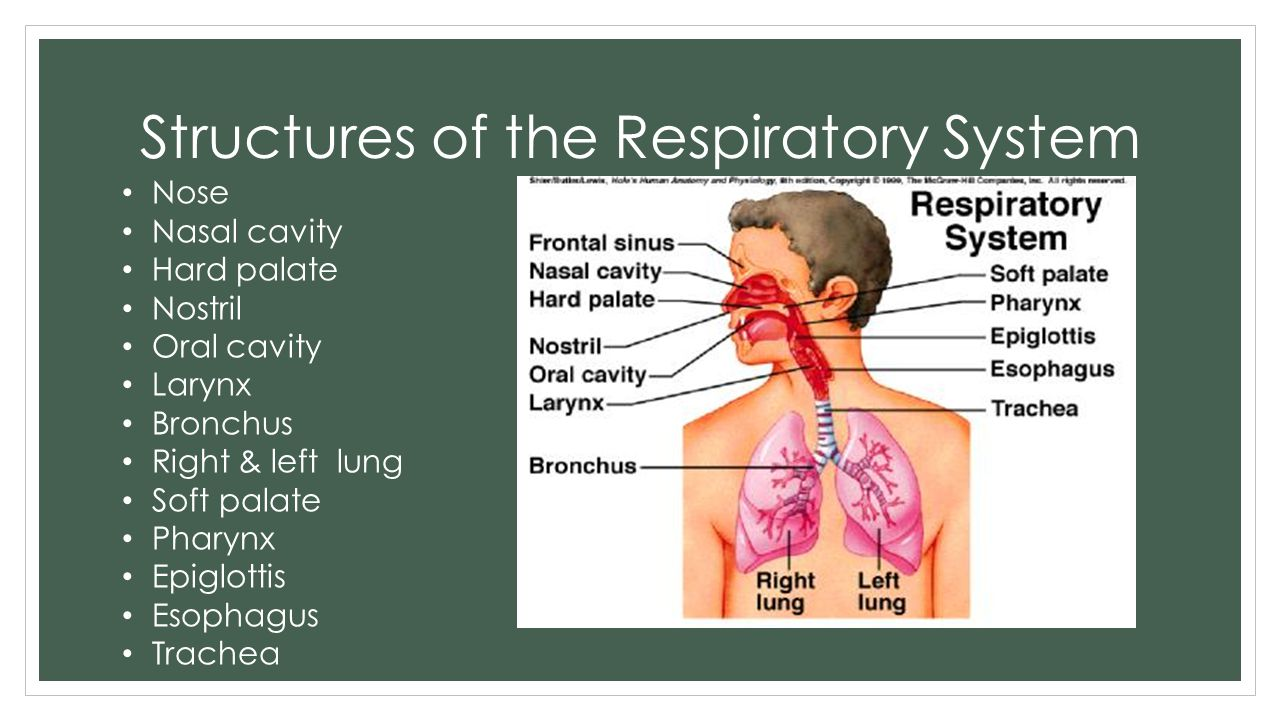 Structures of the Respiratory System