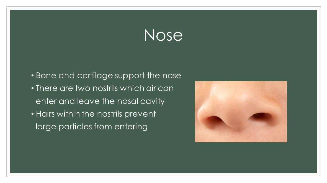 Nose Bone and cartilage support the nose