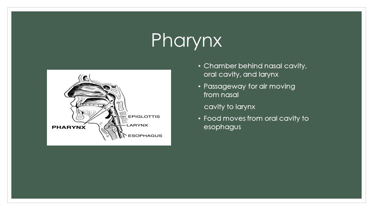 Pharynx Chamber behind nasal cavity, oral cavity, and larynx