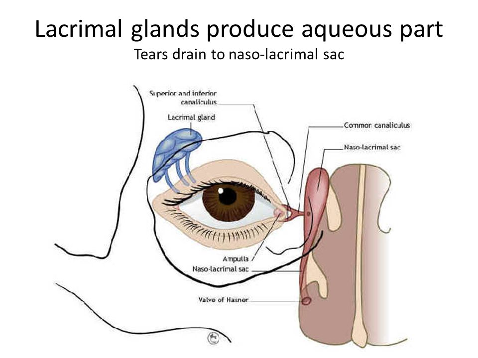 Lacrimal glands produce aqueous part Tears drain to naso-lacrimal sac
