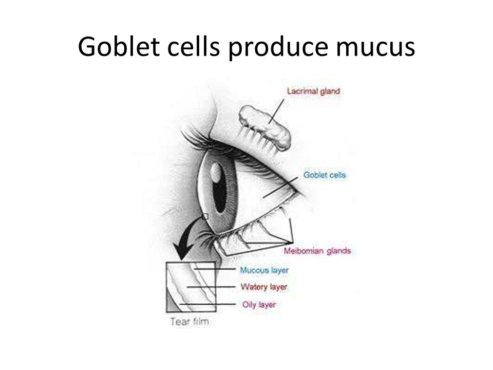 Goblet cells produce mucus