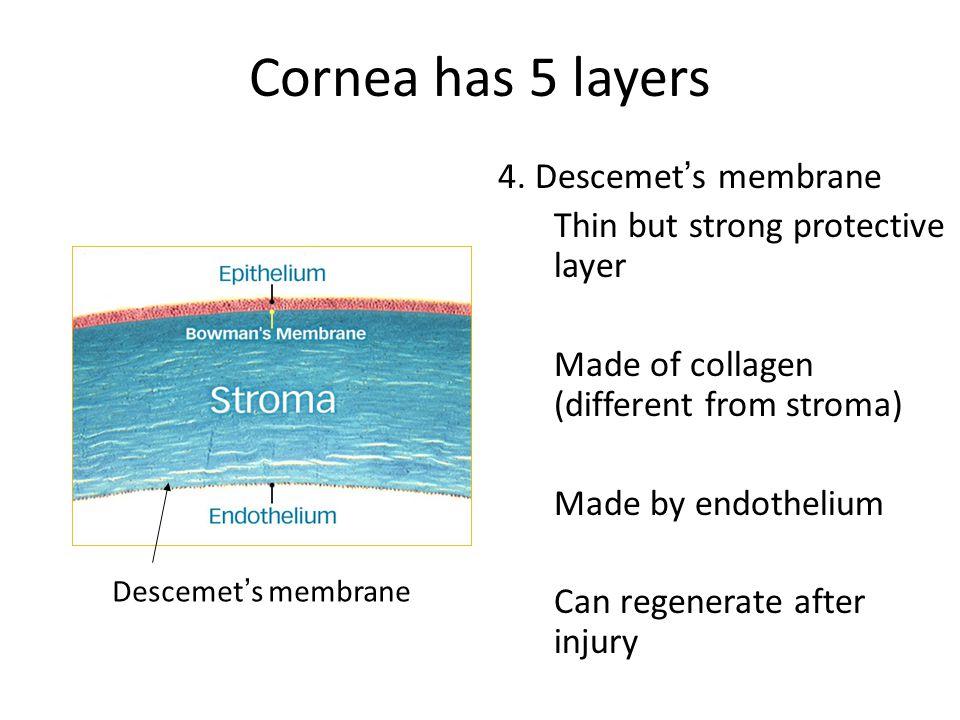 Cornea has 5 layers 4. Descemet's membrane