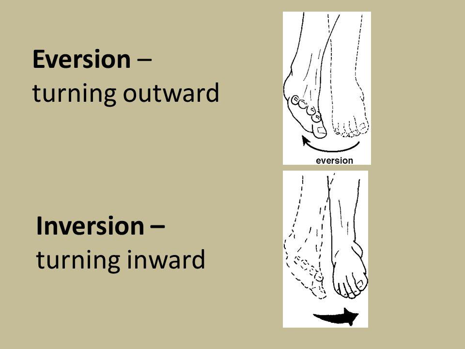 Eversion – turning outward Inversion – turning inward