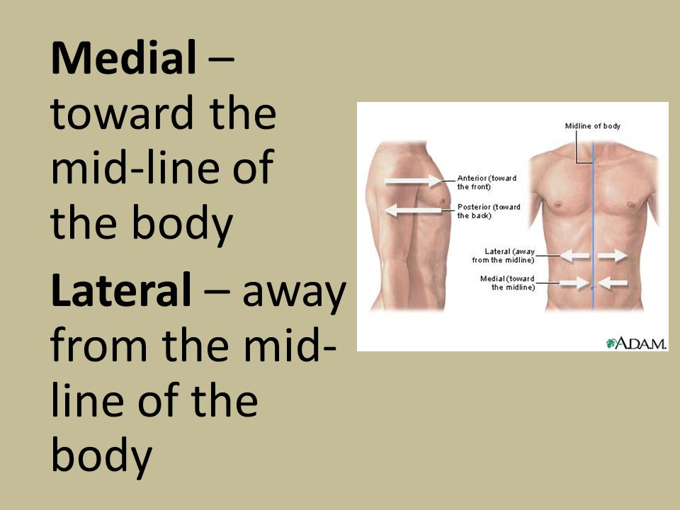 Medial – toward the mid-line of the body