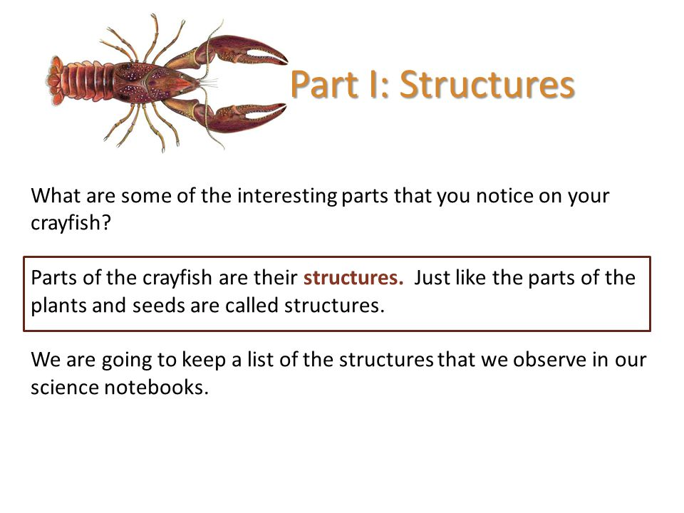 Part I: Structures What are some of the interesting parts that you notice on your crayfish