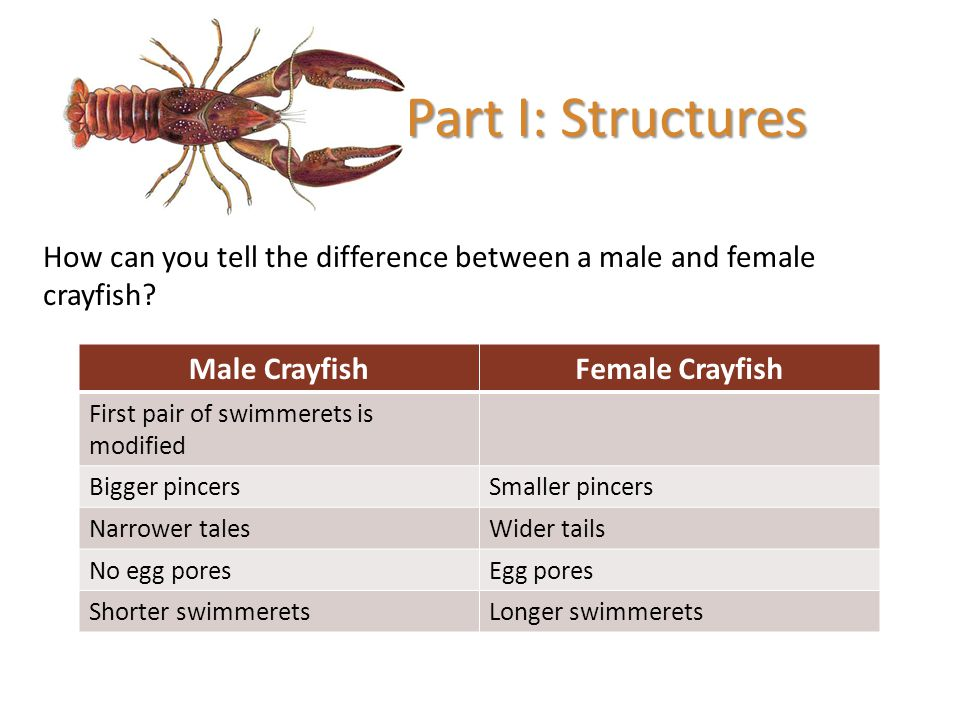 Part I: Structures How can you tell the difference between a male and female crayfish Male Crayfish.