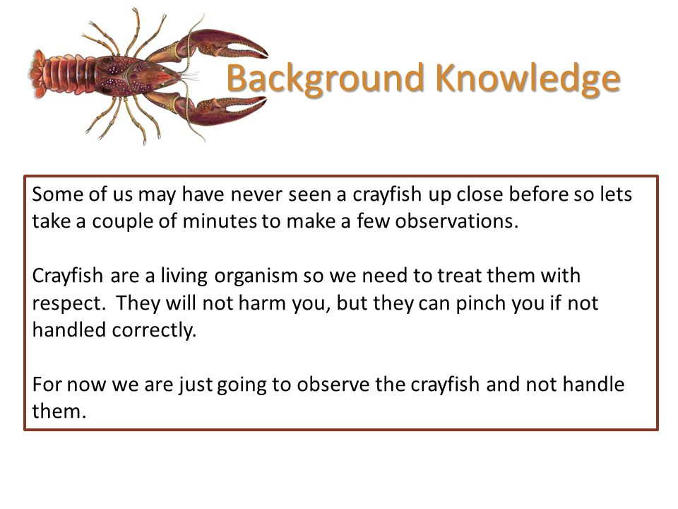 Background Knowledge Some of us may have never seen a crayfish up close before so lets take a couple of minutes to make a few observations.