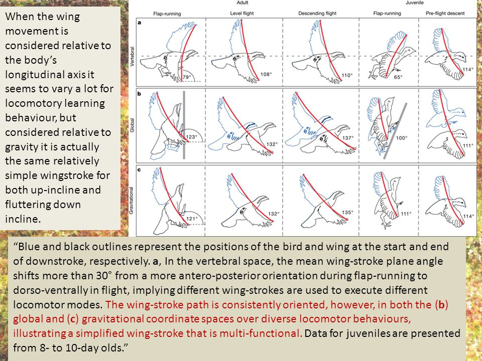 When the wing movement is considered relative to the body's longitudinal axis it seems to vary a lot for locomotory learning behaviour, but considered relative to gravity it is actually the same relatively simple wingstroke for both up-incline and fluttering down incline.