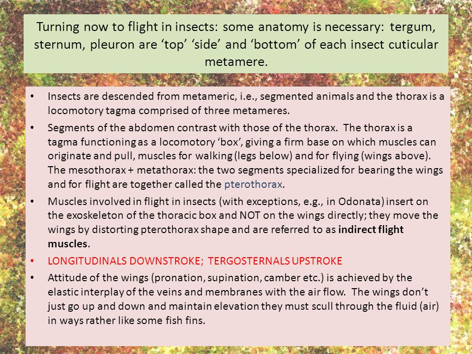 Turning now to flight in insects: some anatomy is necessary: tergum, sternum, pleuron are 'top' 'side' and 'bottom' of each insect cuticular metamere.