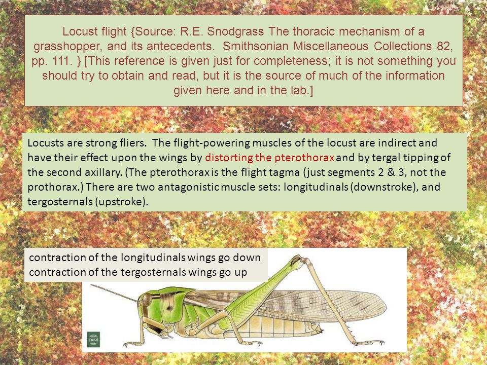 Locust flight {Source: R. E