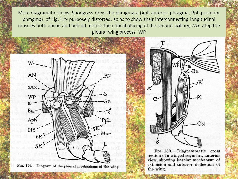 More diagramatic views: Snodgrass drew the phragmata (Aph anterior phragma, Pph posterior phragma) of Fig.