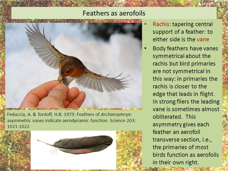 Feathers as aerofoils Rachis: tapering central support of a feather: to either side is the vane.