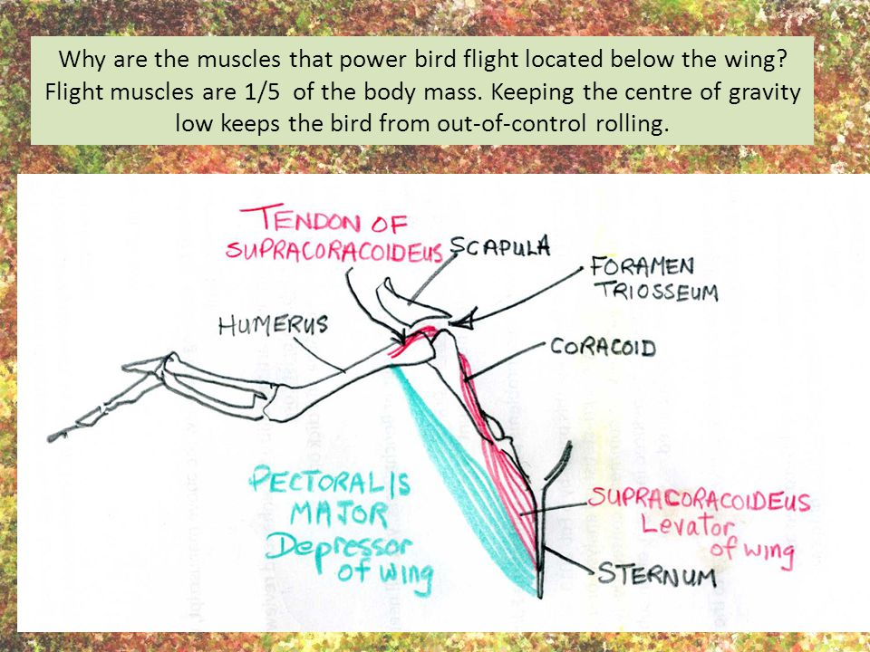Why are the muscles that power bird flight located below the wing
