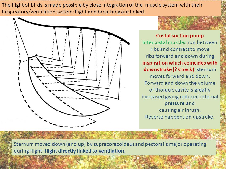The flight of birds is made possible by close integration of the muscle system with their