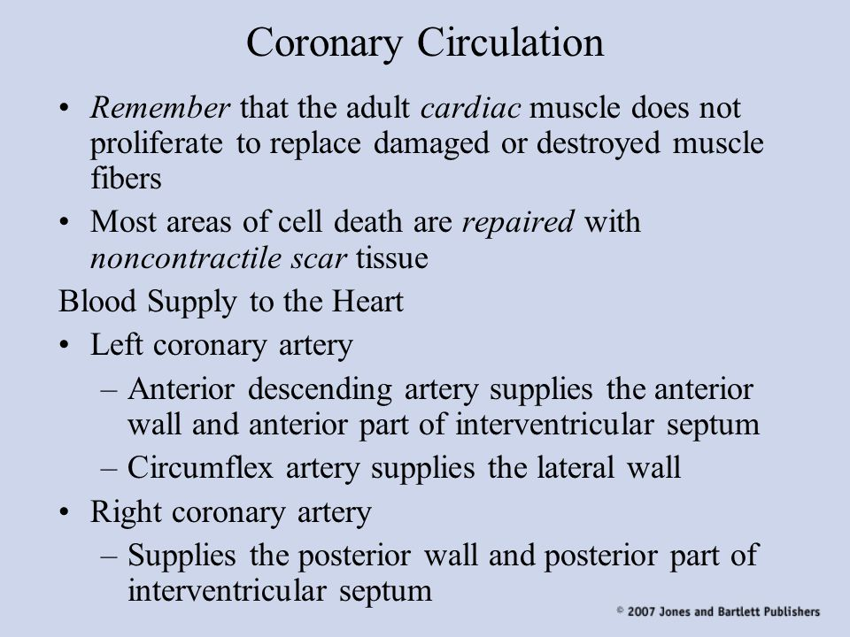 Coronary Circulation Remember that the adult cardiac muscle does not proliferate to replace damaged or destroyed muscle fibers.
