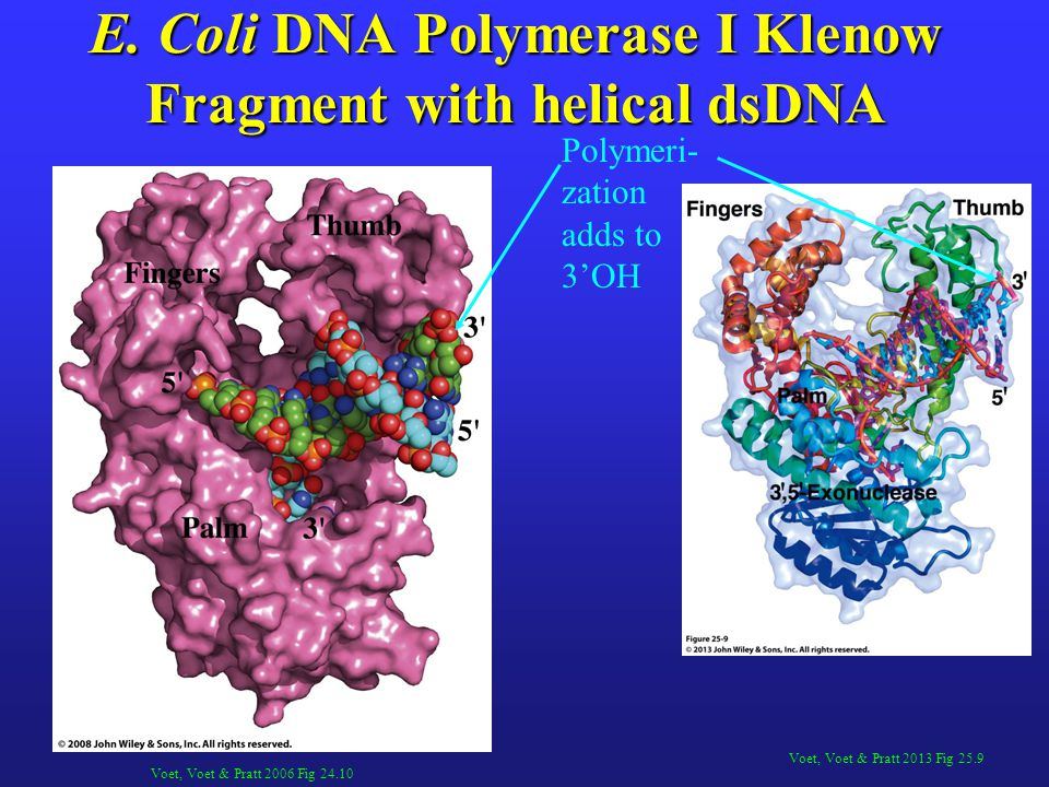 E. Coli DNA Polymerase I Klenow Fragment with helical dsDNA