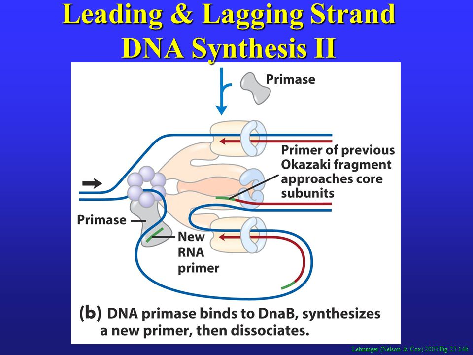 Leading & Lagging Strand DNA Synthesis II