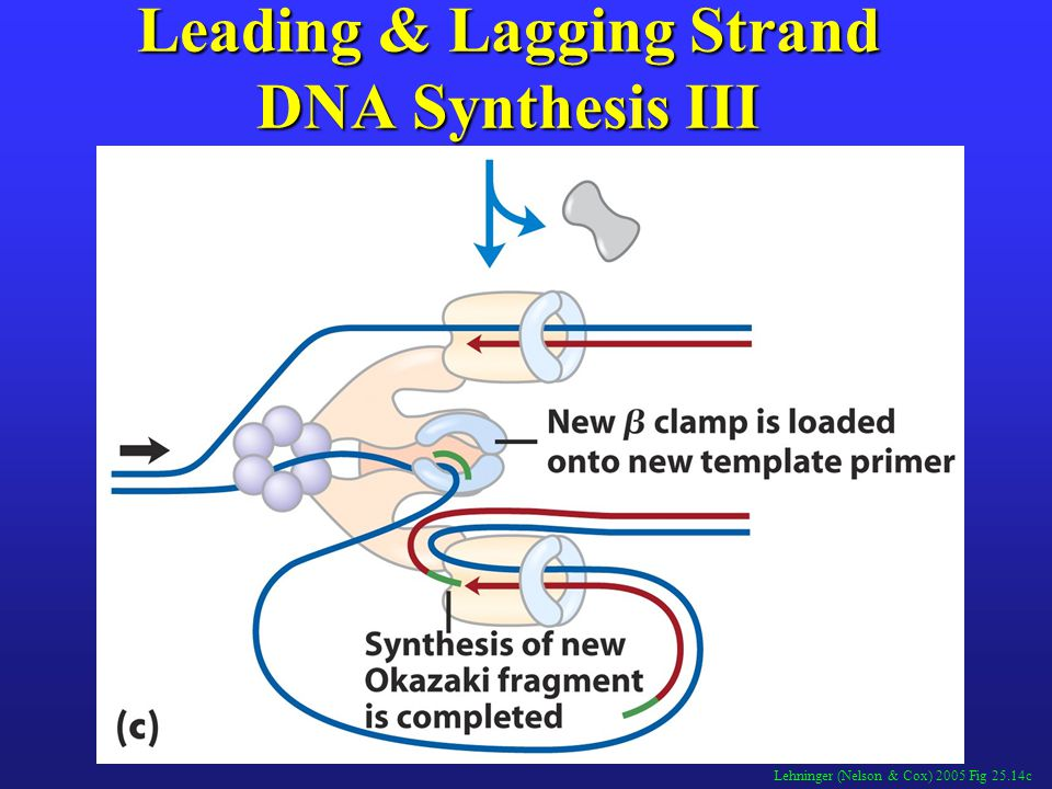 Leading & Lagging Strand DNA Synthesis III
