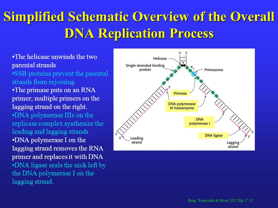 Simplified Schematic Overview of the Overall DNA Replication Process