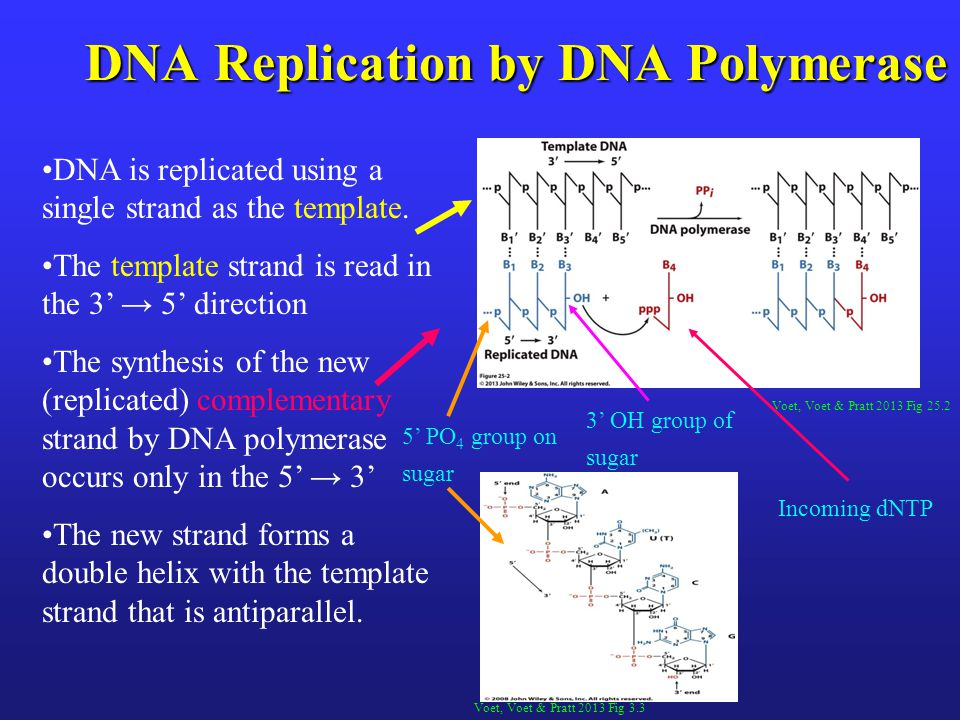 Dna replication repair student edition 92713 ppt download dna replication by dna polymerase pronofoot35fo Choice Image