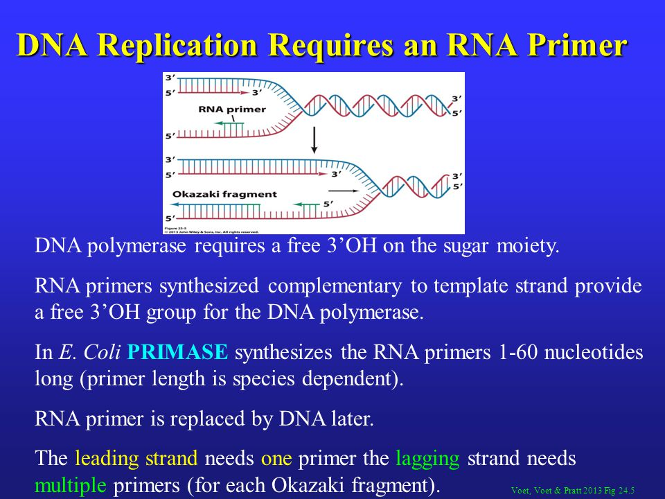 DNA Replication Requires an RNA Primer