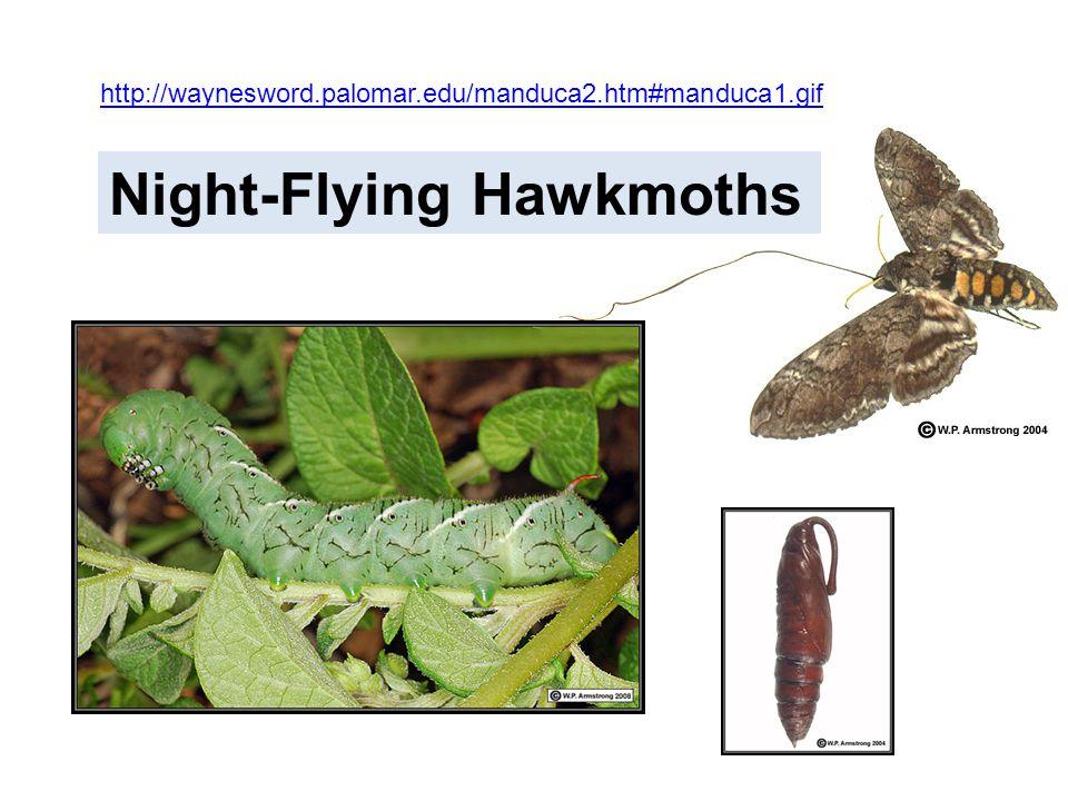 Night-Flying Hawkmoths