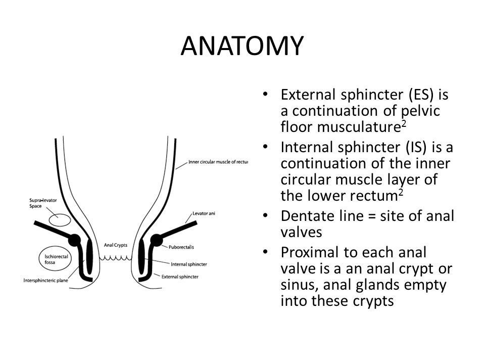 ANATOMY External sphincter (ES) is a continuation of pelvic floor musculature2.