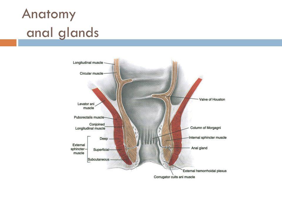 Anatomy anal glands