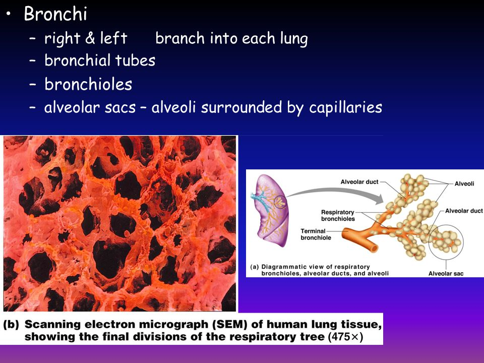 Bronchi bronchioles right & left branch into each lung bronchial tubes