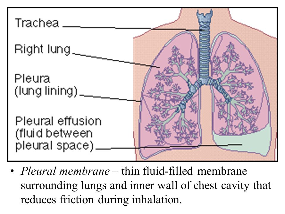 Pleural membrane – thin fluid-filled membrane surrounding lungs and inner wall of chest cavity that reduces friction during inhalation.