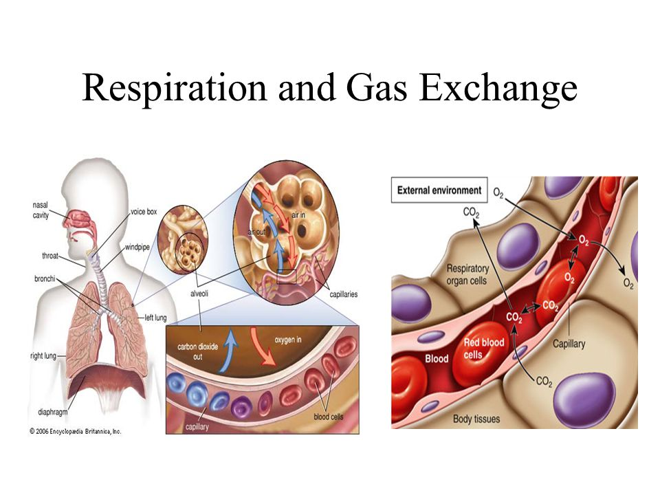Respiration and Gas Exchange