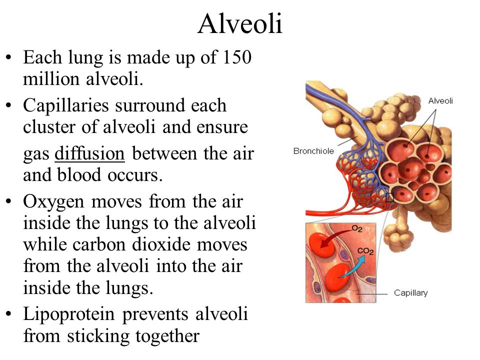 Alveoli Each lung is made up of 150 million alveoli.