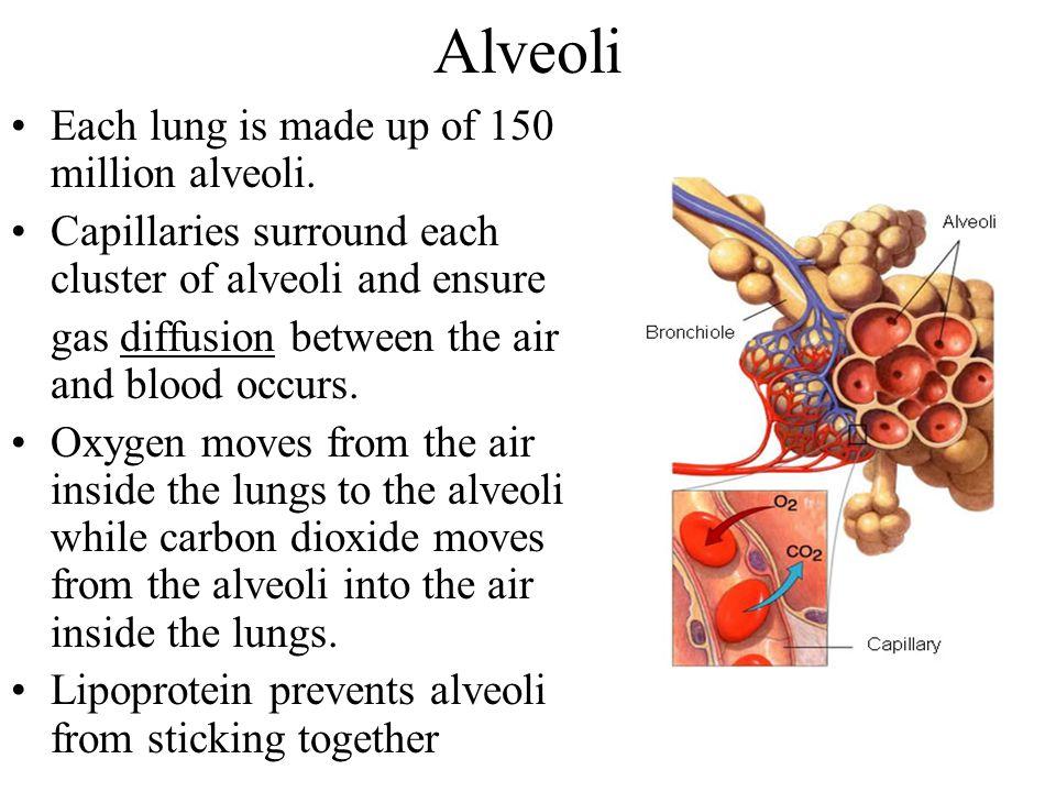 Alveoli Each lung is made up of 150 million alveoli.