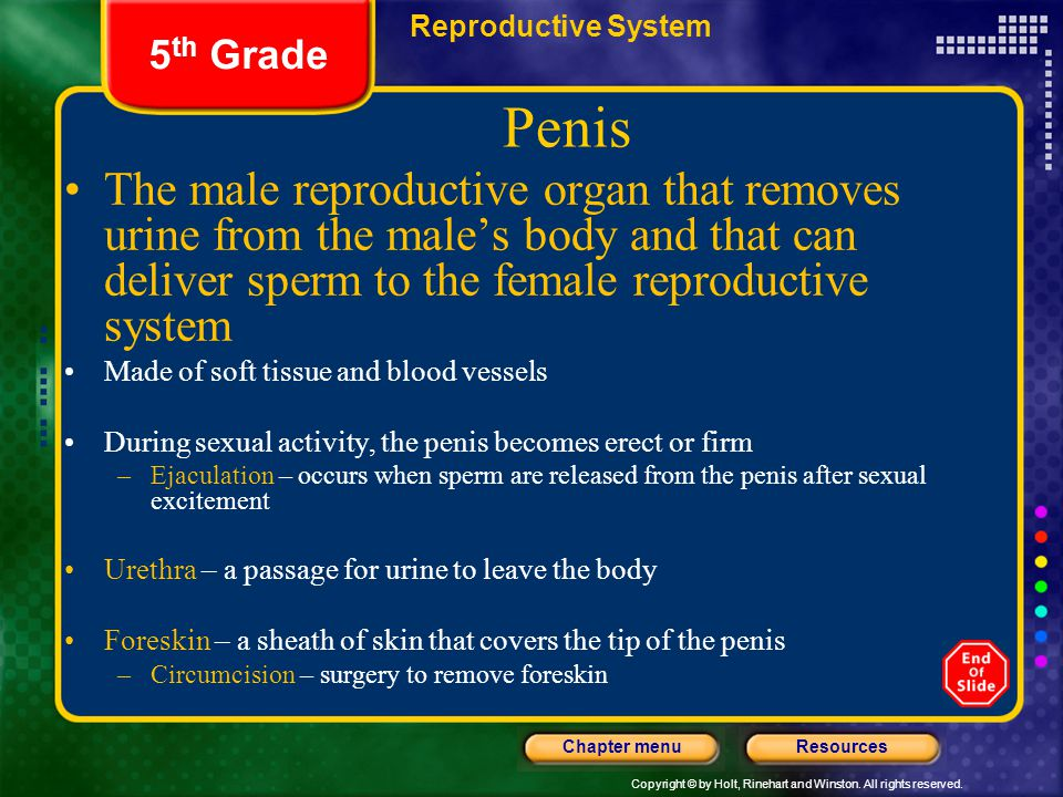 Reproductive System 5th Grade. Penis.