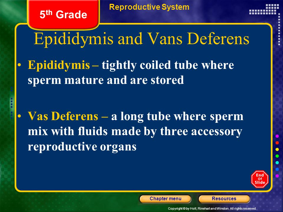Epididymis and Vans Deferens