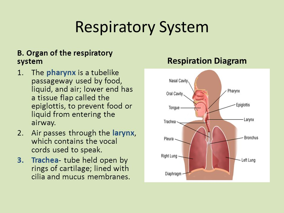 Respiratory System Respiration Diagram