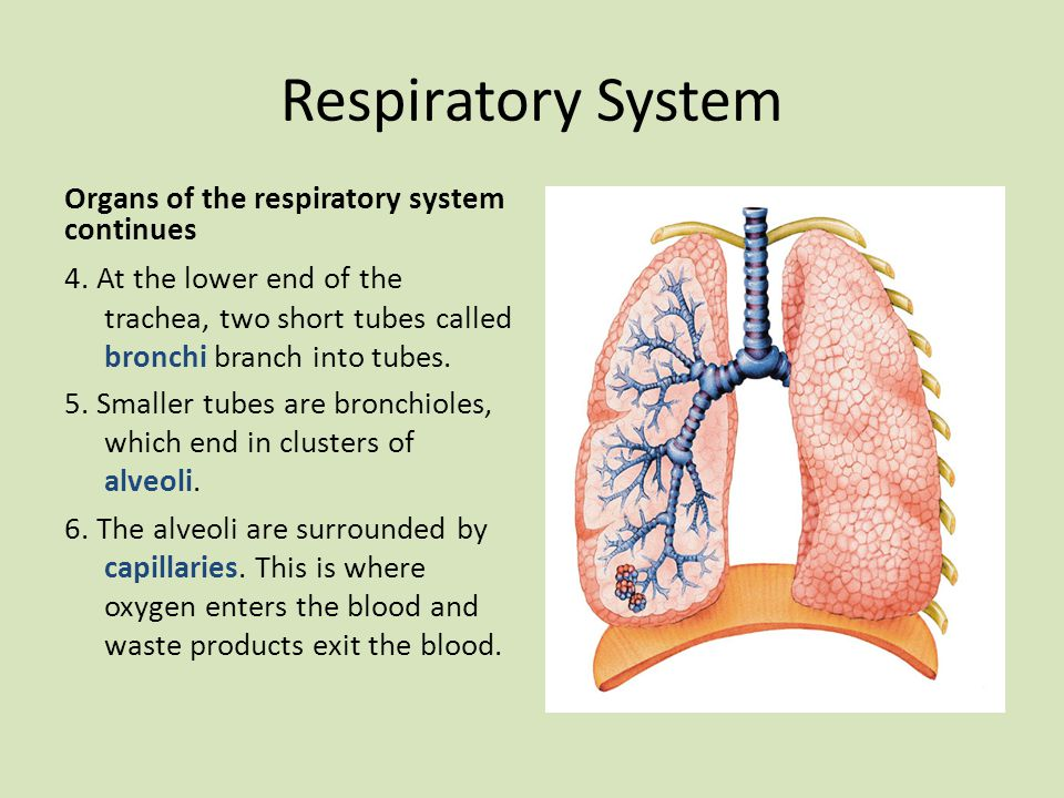 Respiratory System Organs of the respiratory system continues